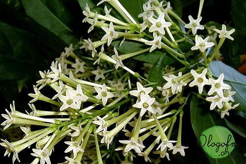 Madagascar jasmine Doftranka