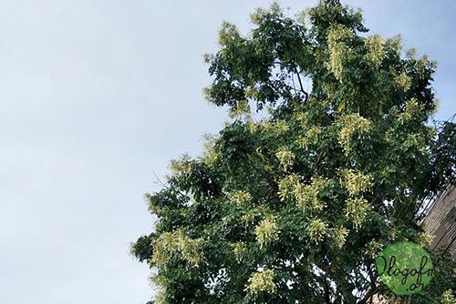 Cork Tree, Indian Cork1