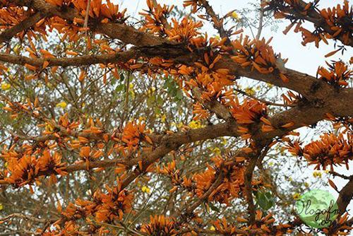 Kasalongkham Tree