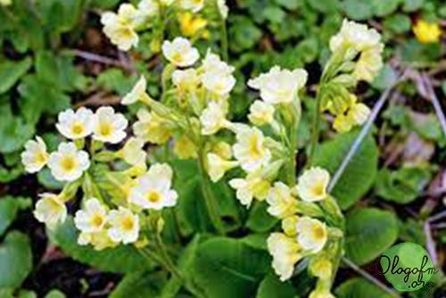 jasmine primrose
