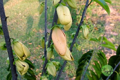 Khao Lam Dong Tree